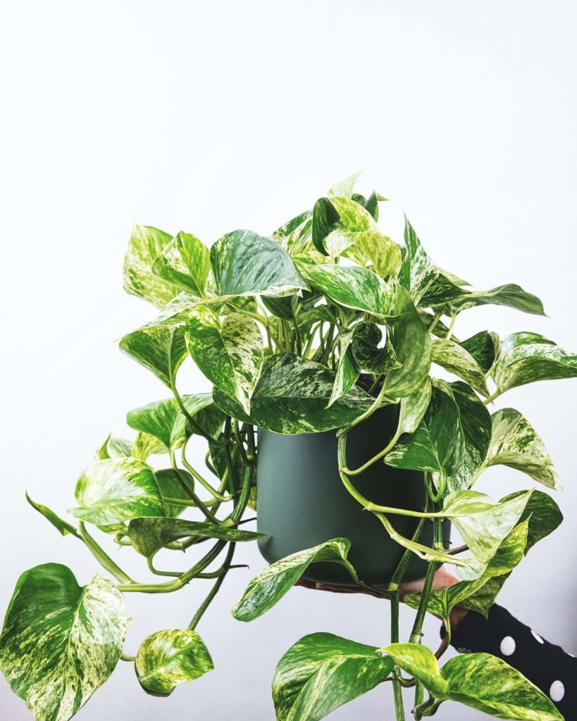 pothos for your balcony