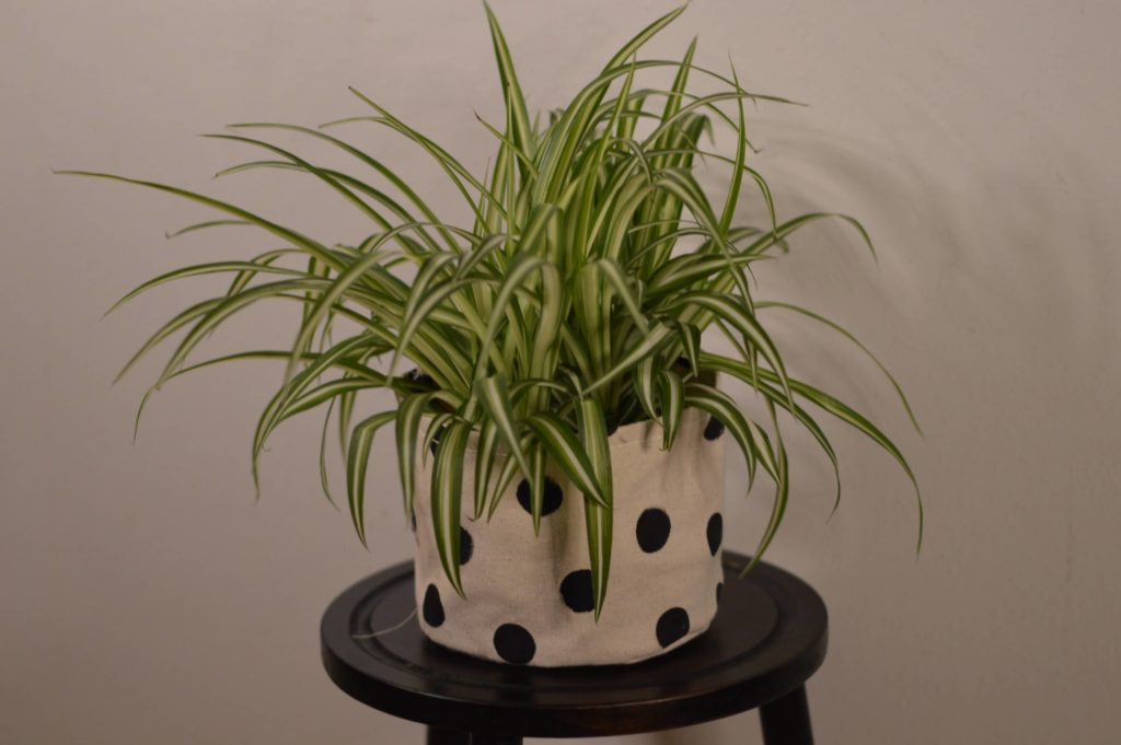 spider plant for your room